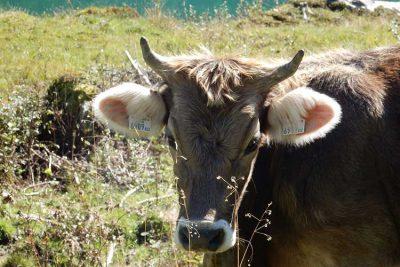 Oostenrijkse koe