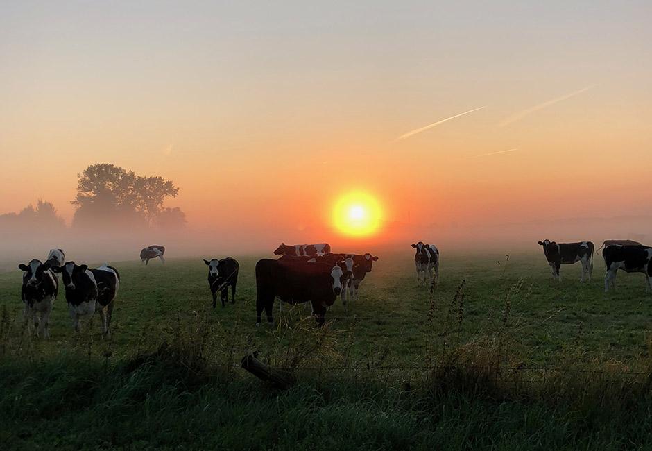 koeien in de wei. Groningen